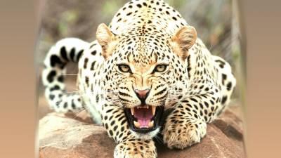 b2ap3_thumbnail_leopard-roar-wide-desktop-wallpaper-in-high-resolution-free.jpg