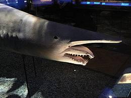 b2ap3_thumbnail_shark.jpg